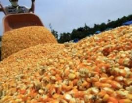 Ucranía tiene interés en el maíz de Sinaloa